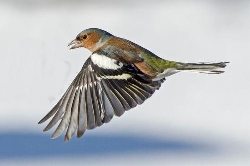flyingchaffinchsnow28229