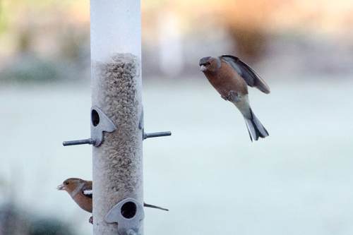 frosty chaffinches
