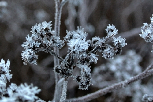 frozen plant in garden