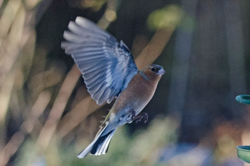 gloomychaffinch