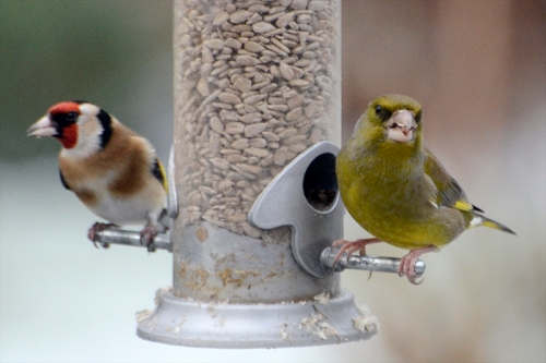 gold and greenfinches