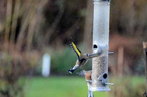 goldfinch in the rain