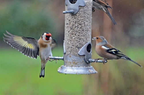 goldfinch touching down