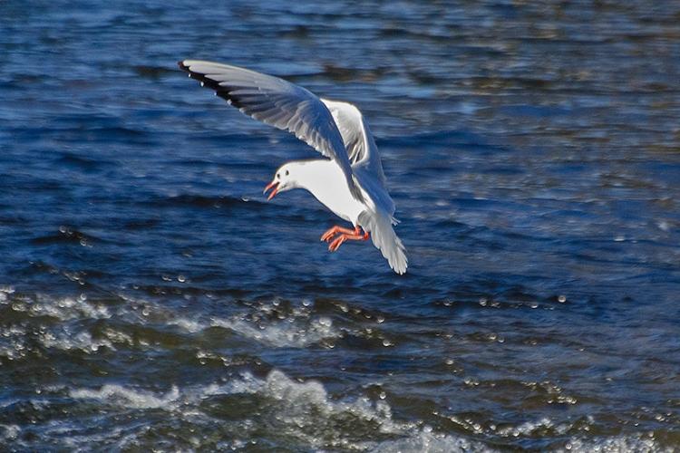 gull landing in esk