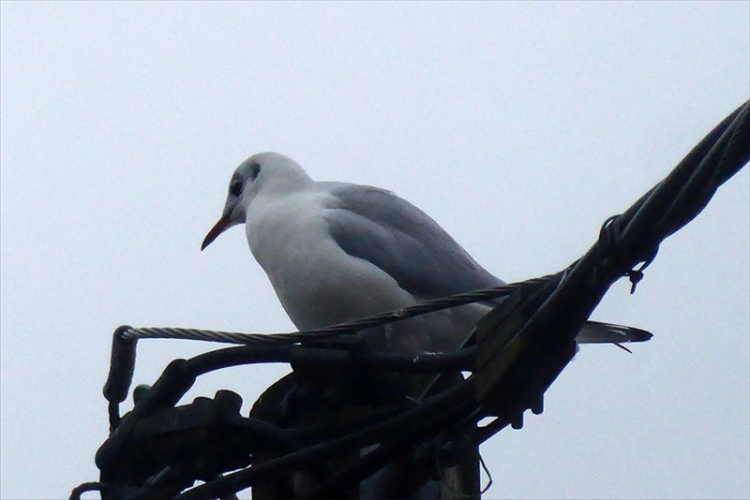 gull on lectricity pole