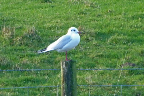 gull on post