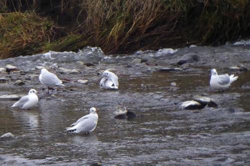 gulls in water