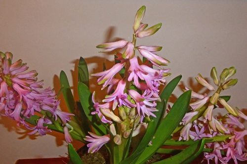 hyacinth in flower