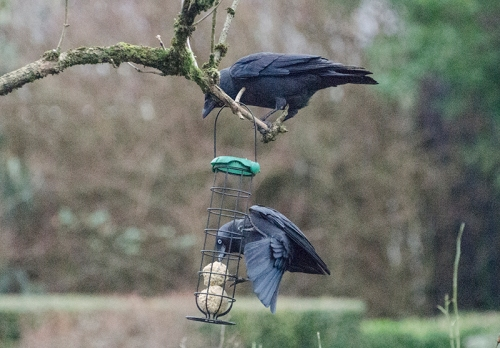 jackdaws in elder