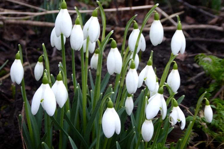january garden snowdrops
