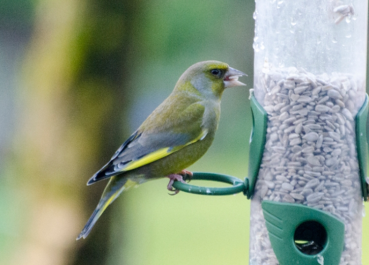 january greenfinch