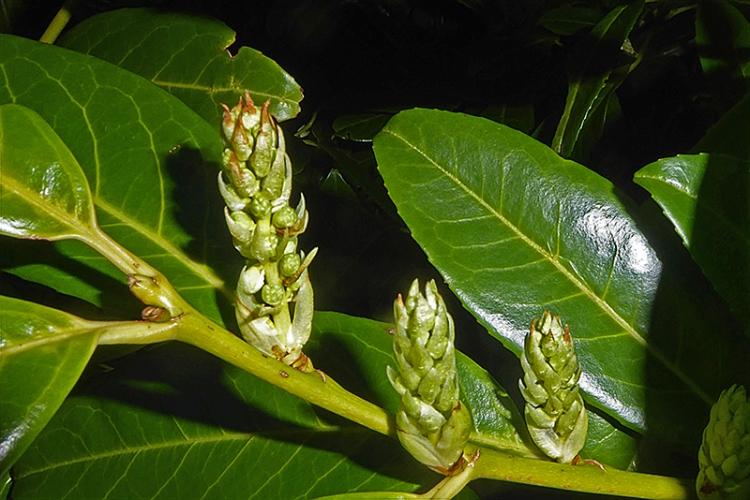 laurel sprout