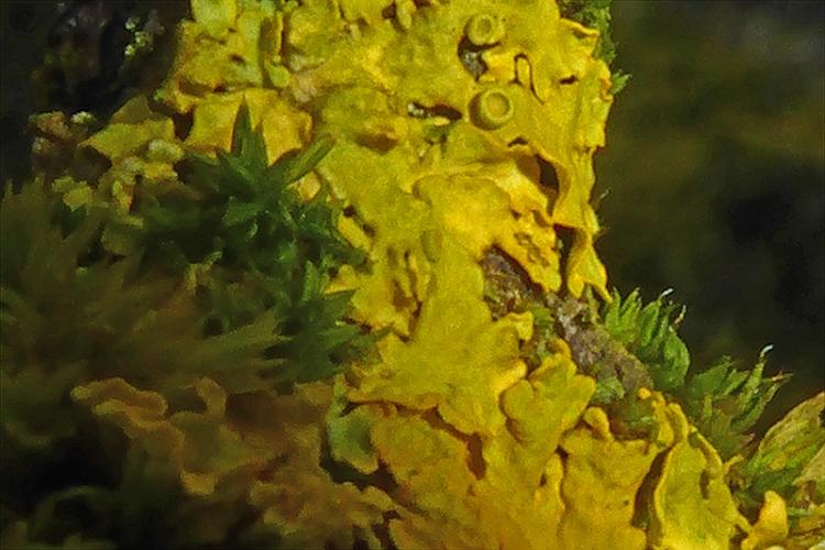 lichen on elder