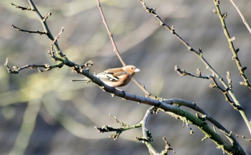 lonely chaffinch