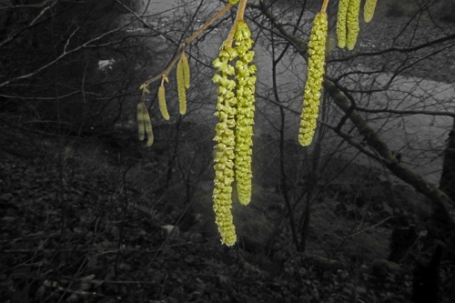 long catkins