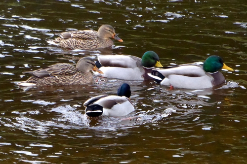 mallards on esk