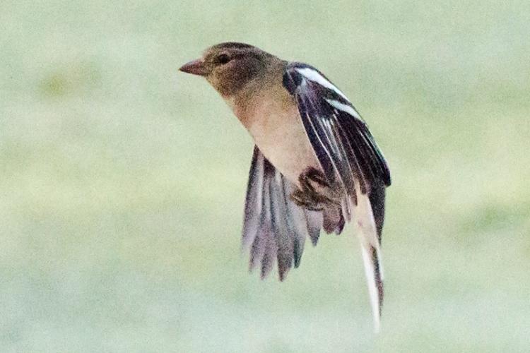 misty flying chaffinch