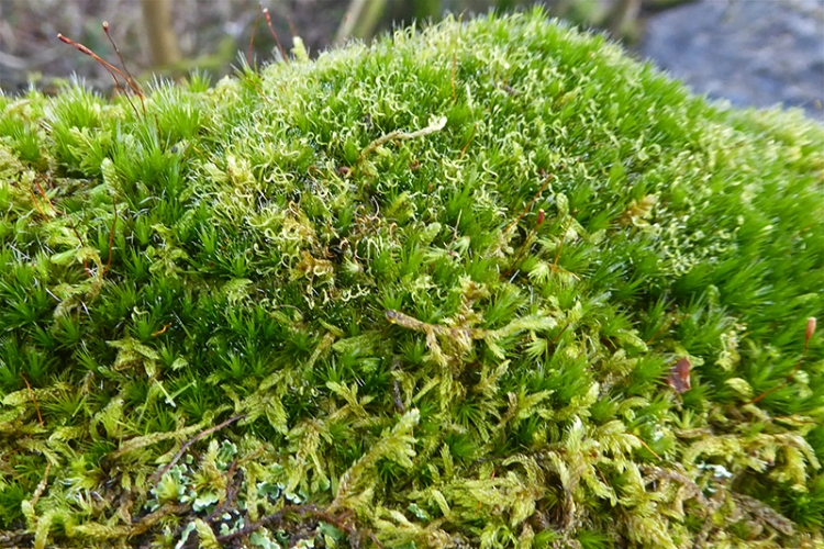 mixed mosses