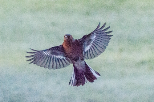 noisy flying chaffinch