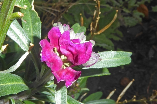 perennial wallflower january