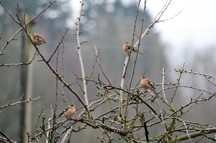 plum chaffinch crop