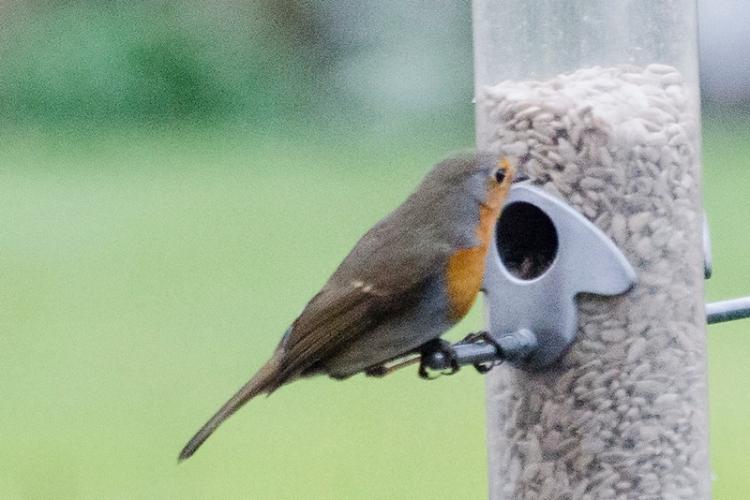 robin on feeder january