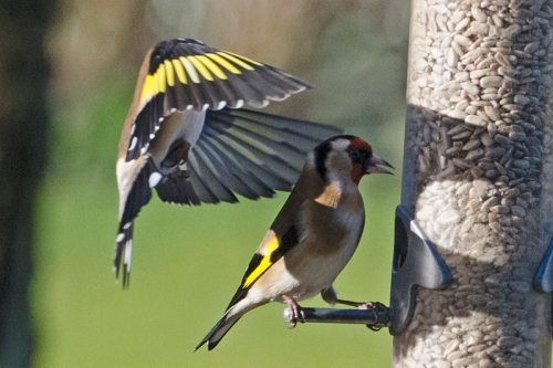 slave goldfinch