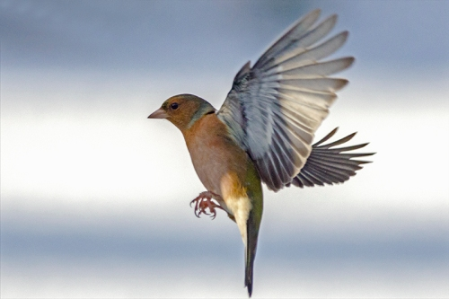 snowy flying chaffinch (2)