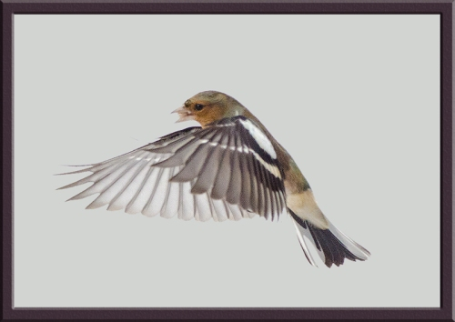 snowy flying chaffinch (5)