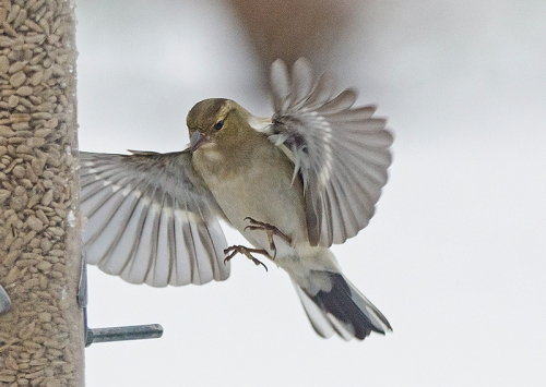snowy flying chaffinch (6)