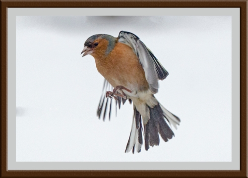 snowy flying chaffinch (7)