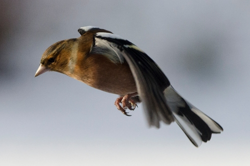snowy flying chaffinch