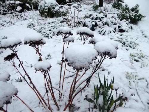 snowy sedum