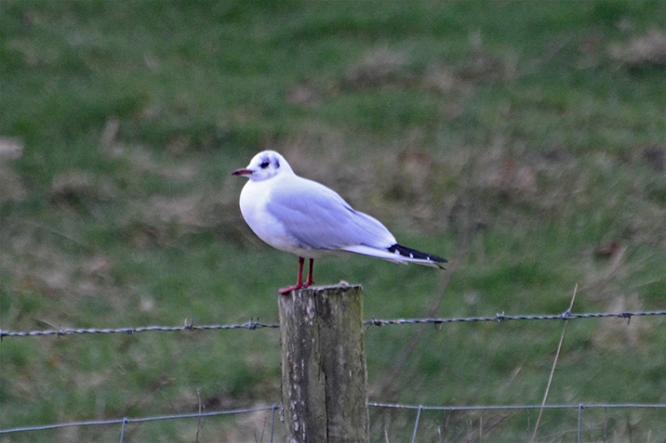 sole gull on post