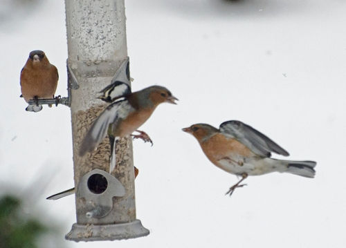 sparring chaffinches snow