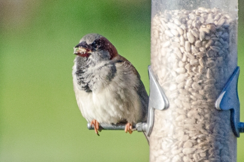 sparrow eating seed