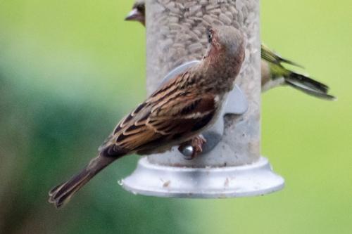 sparrow on gfeeder