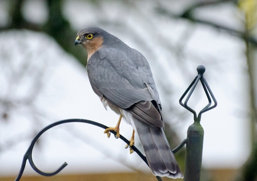 sparrowhawk on feeder