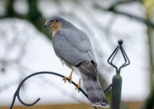 sparrowhawk on feeder
