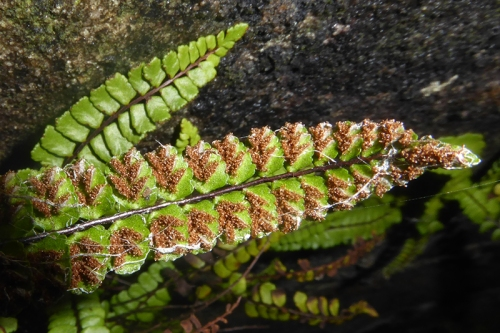 spleenwort back