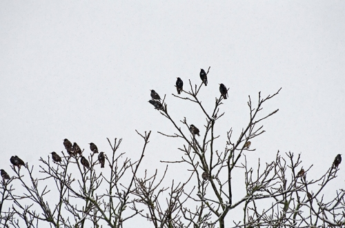 starlings in the walnut tree