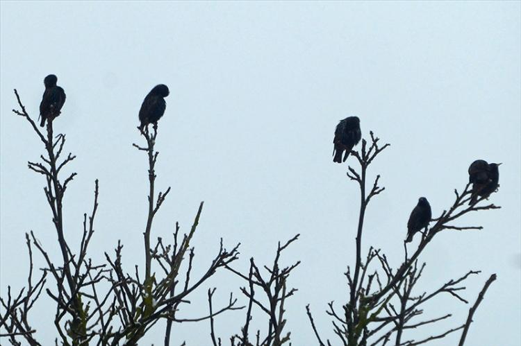 starlings in walnut tree