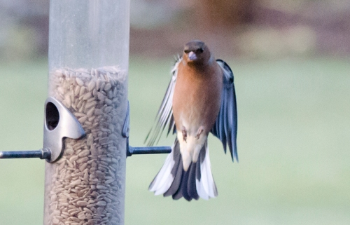 straight up chaffinch