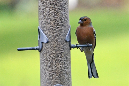 tall chaffinch