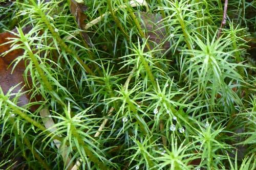 tall moss
