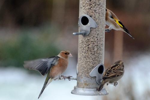 three birds on feeder