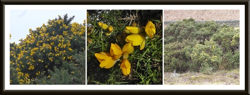 three gorse bushes