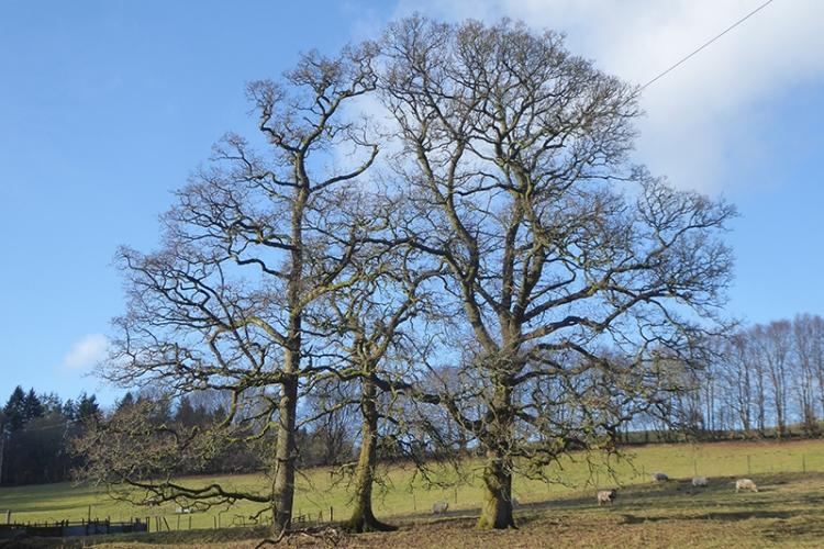 three trees pathead