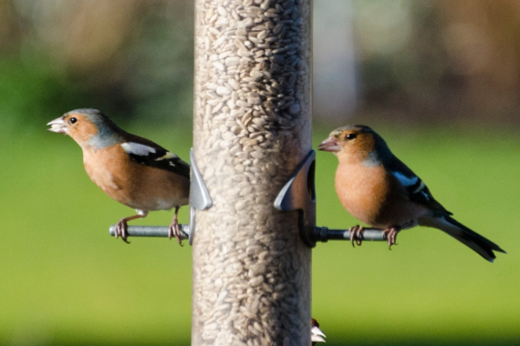 two colourful chaffinches