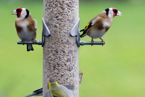 two contrary goldfinches